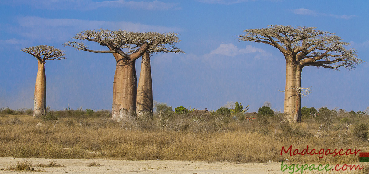 Avenue of the Baobabs. Авенюто на баобабите.
