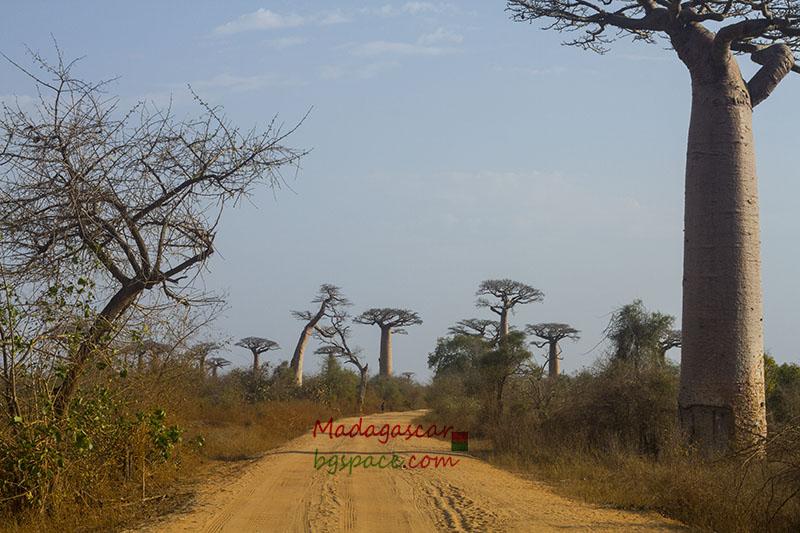 Avenue of the Baobabs. Авенюто на баобабите.