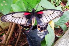 Бохол ферма за пеперуди