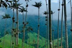 Кокора Колумбия