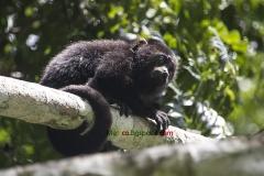 Яхчилан Мексико маймуни